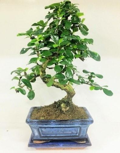S Bonsai japon ağacı bitkisi  Adıyaman uluslararası çiçek gönderme