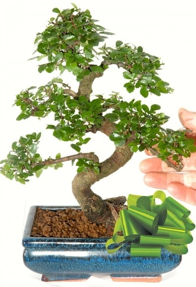 Yaklaşık 25 cm boyutlarında S bonsai  Adıyaman çiçek siparişi sitesi