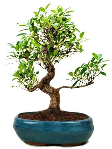 25 cm ile 30 cm aralığında Ficus S bonsai  Adıyaman çiçek gönderme sitemiz güvenlidir