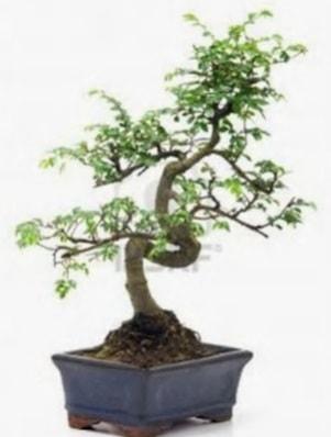 S gövde bonsai minyatür ağaç japon ağacı  Adıyaman çiçek satışı