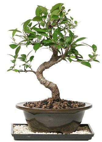 Altın kalite Ficus S bonsai  Adıyaman çiçekçi telefonları  Süper Kalite