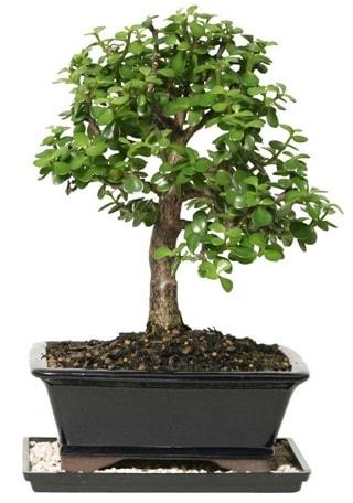 15 cm civarı Zerkova bonsai bitkisi  Adıyaman çiçek siparişi sitesi