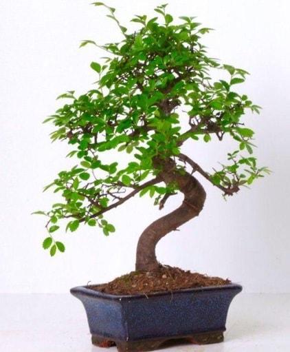 S gövdeli bonsai minyatür ağaç japon ağacı  Adıyaman çiçek gönderme sitemiz güvenlidir