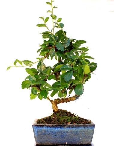 S gövdeli carmina bonsai ağacı  Adıyaman çiçek yolla  Minyatür ağaç
