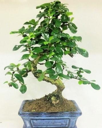 Zelkova S gövdeli Minyatür ağaç Bonzai  Adıyaman çiçek gönderme