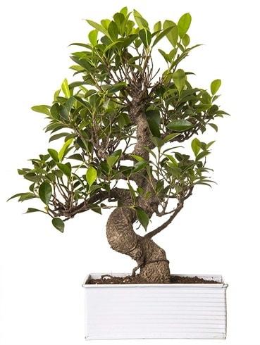 Exotic Green S Gövde 6 Year Ficus Bonsai  Adıyaman çiçek gönderme sitemiz güvenlidir