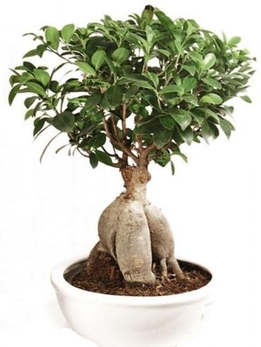Ginseng bonsai japon ağacı ficus ginseng  Adıyaman İnternetten çiçek siparişi