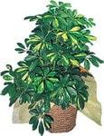 Adıyaman internetten çiçek siparişi  Schefflera gold